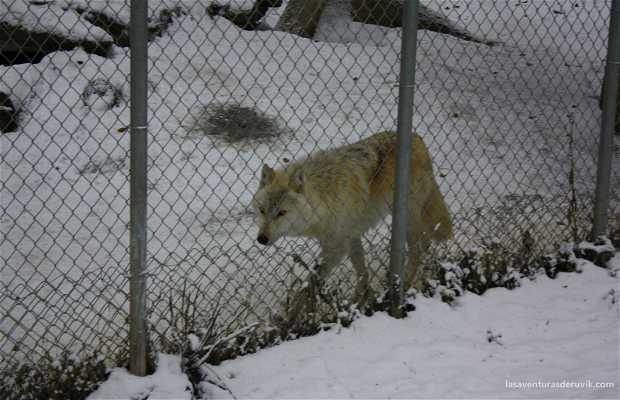 Northern light wolf center