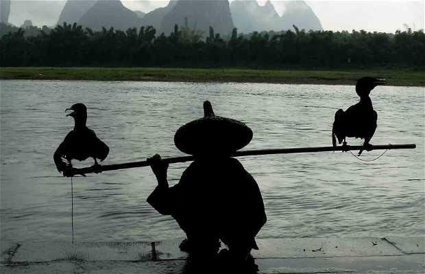 Cormoranes Fishing