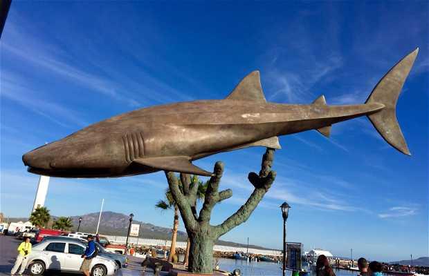 Tiburón Ballena de Loreto