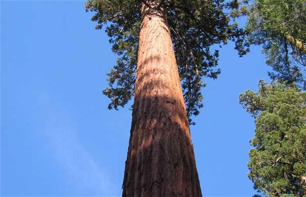 Tuolumne grove. Sequoias gigantes