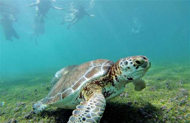Las tortugas de Akumal
