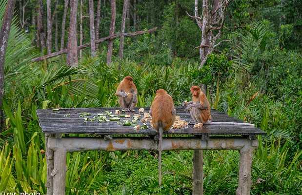 Labuk Bay Proboscis Monkey Sanctuary