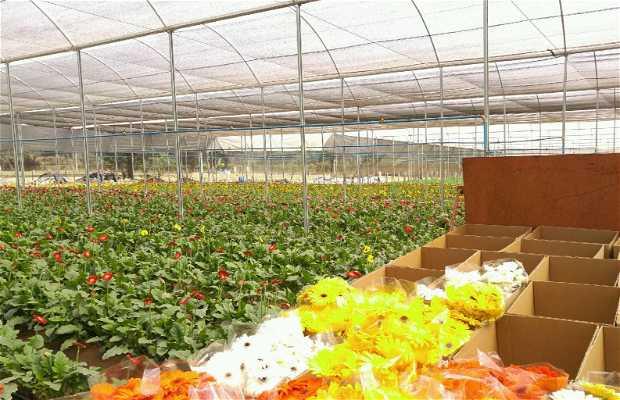 Holambra cultivo de flores