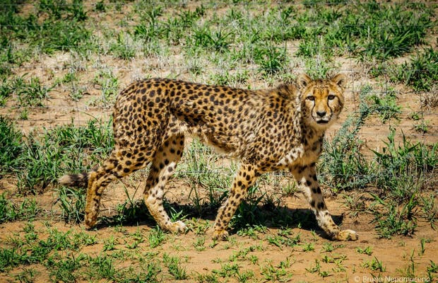 Cheetah Drive - CCF
