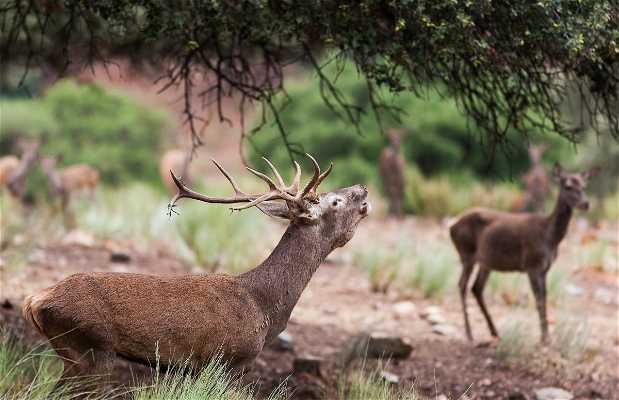 La Berrea del ciervo en Monfragüe