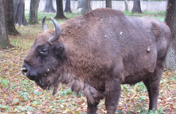 Reserva de bisontes