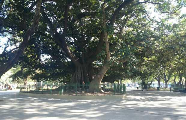 Árvore Centenária El Gomero