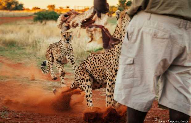 Alimentando guepardos em Bagatelle