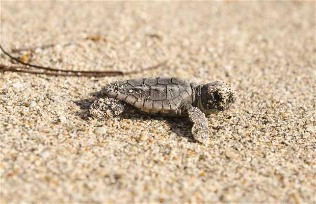 Nidos de tortugas en la costa de North Miami Beach