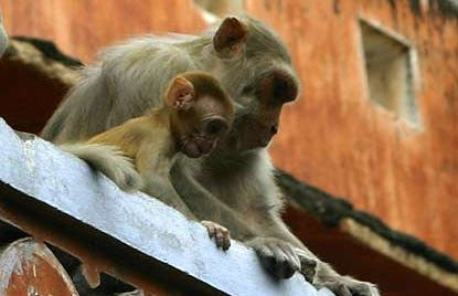Descendants of the gods: The macaques of Jaipur