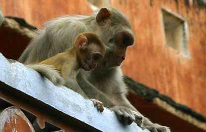 Descendientes de los Dioses: Los macacos de Jaipur