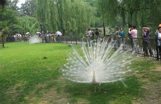 Paons blancs en Chine
