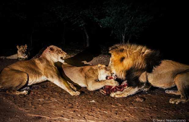 Alimentando leões