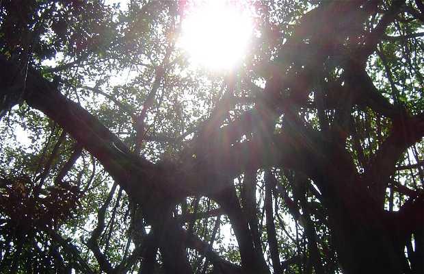 Árvore Banyan Tree