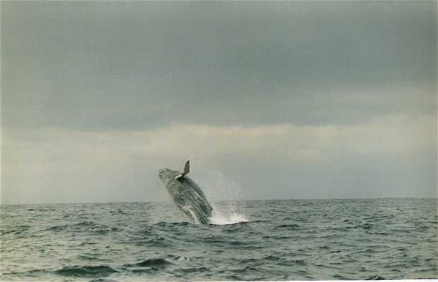 The humpback whales of Ecuador