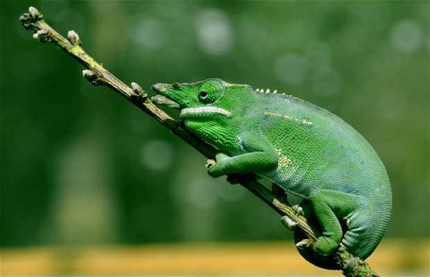 Caméléons de Madagascar