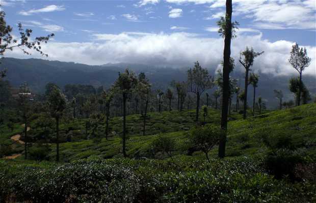 La piantagione di tè Dambatenne