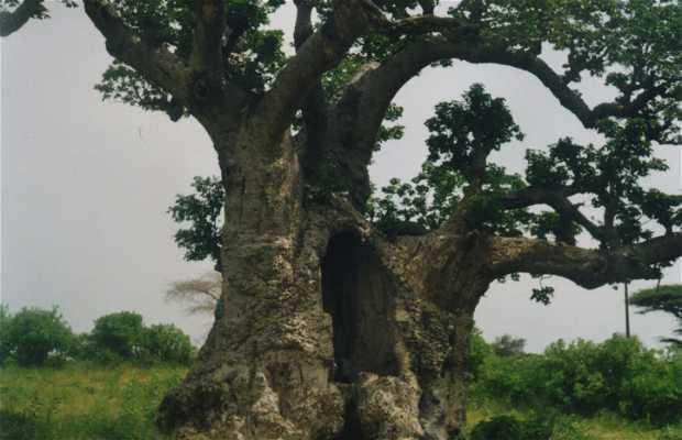 Árbol Baobab de Senegal