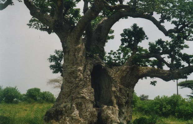 I baobab del Senegal