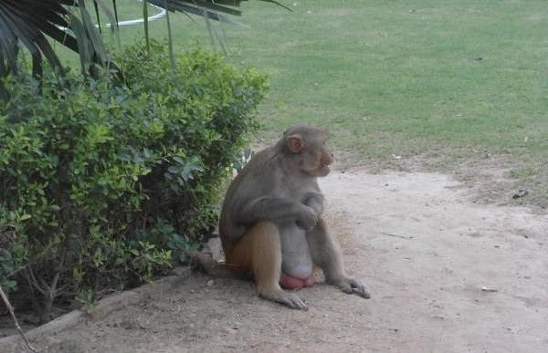 Los monos de Delhi