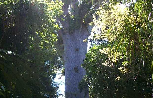 Tane Mahuta Waipoua Forest