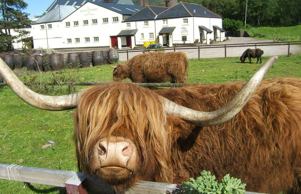 Highland Cows (vacas escocesas)