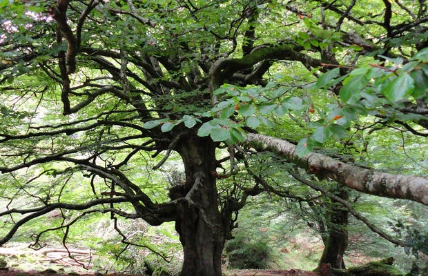 Beech forest of La Biescona