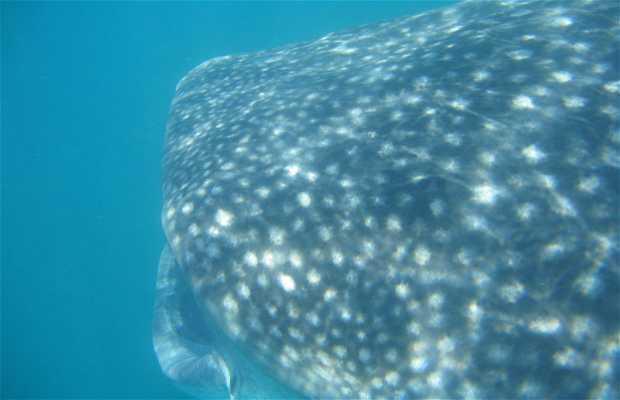 Plongée avec des requins baleines