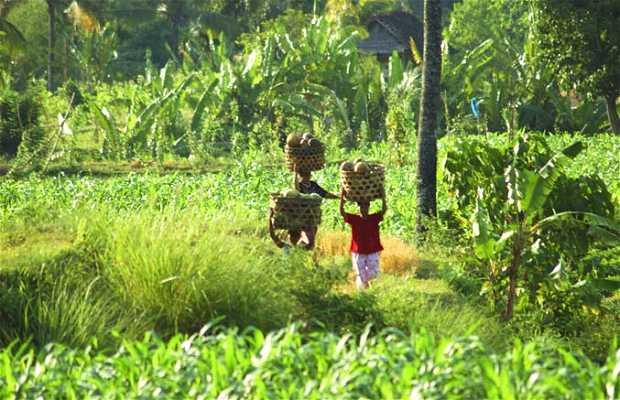 Plantaciones de Lombok