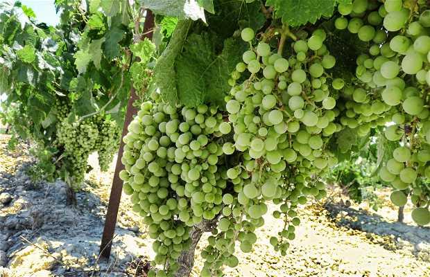 Jerez vineyards