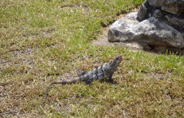 Iguanes de Tulum y Coba