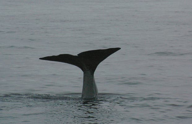 Les baleines en Norvège