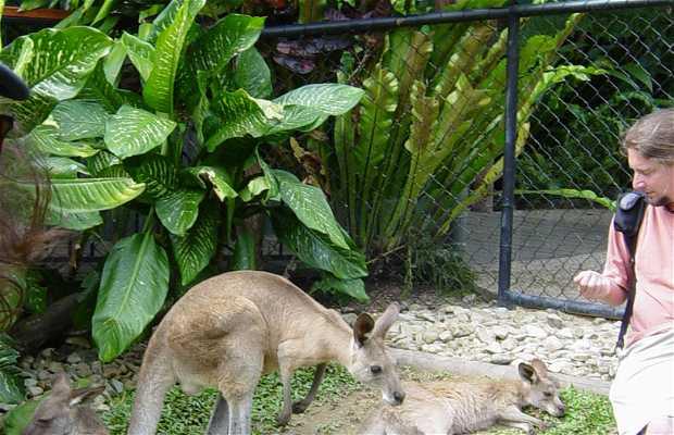 I canguri in Australia