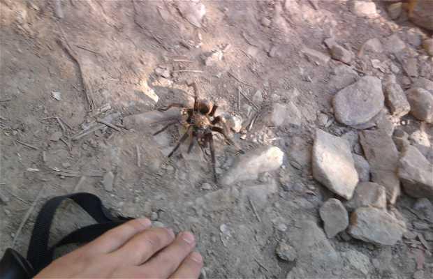 L'araña pollito