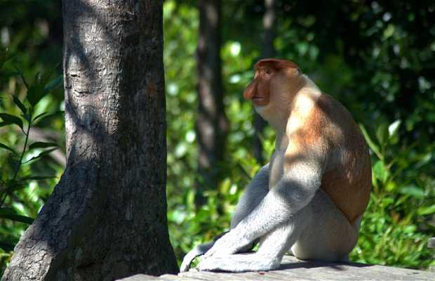 Plataforma de forraje A de los monos narigudos