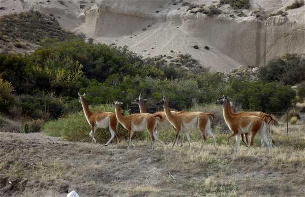 Guanacos en la ruta
