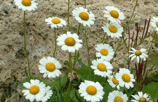 Jardin alpin Chanousia