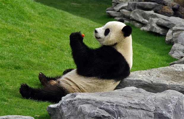 Pandas en Pairi Daiza