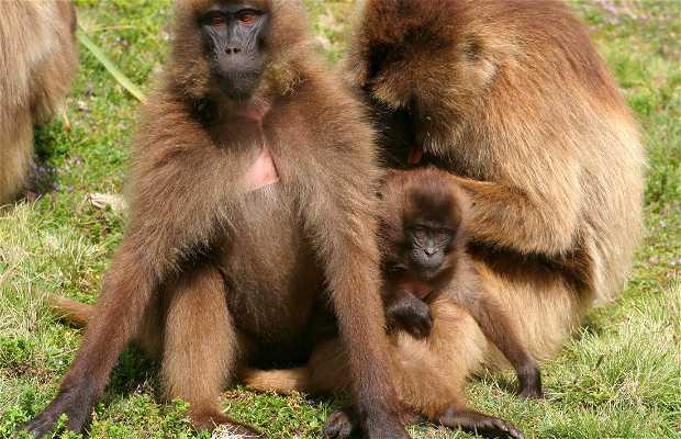 Los babuinos del Parque Simien