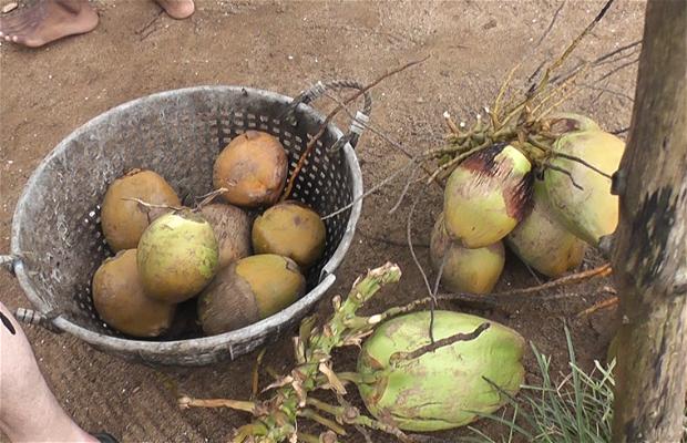 Puestos de cocos en Cherai