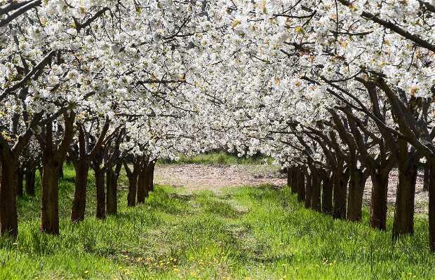 Ruta de los Cerezos