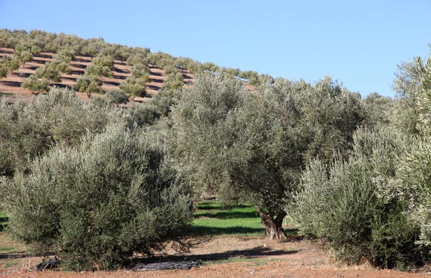 Olives de Moulay Idriss