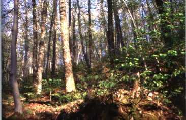 El bosque de la Honfría