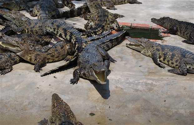 Eating Crocodile Meat