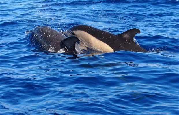 Avistamiento de delfines y ballenas en Sao Miguel