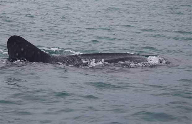Guardando Squalo Balena