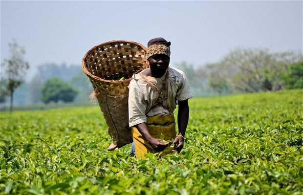 Plantaciones de Té en Malawi, Mulanje, Malawi