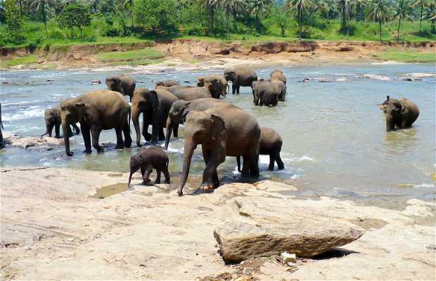 Orfanato de elefantes de Pinnawala