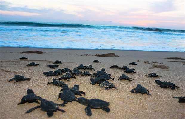 Baby Sea Turtle Liberation