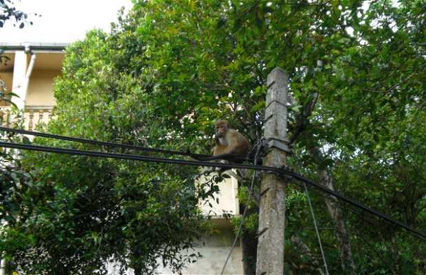 Monos en Kandy